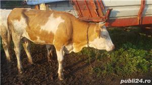 Vand vacă cu vițel - imagine 3