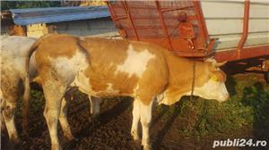 Vand vacă cu vițel - imagine 2