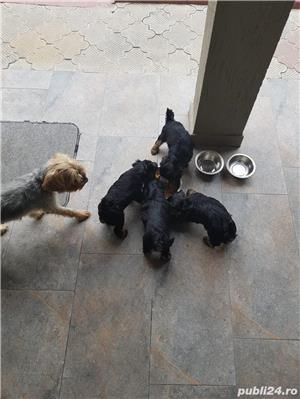 Vand pui Yorkshire Terrier - imagine 3