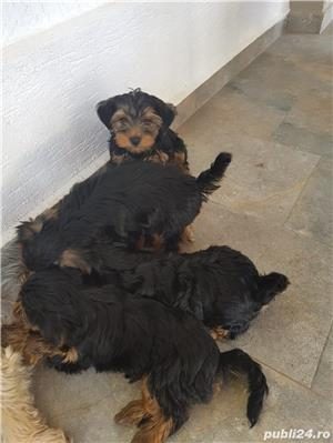 Vand pui Yorkshire Terrier - imagine 2