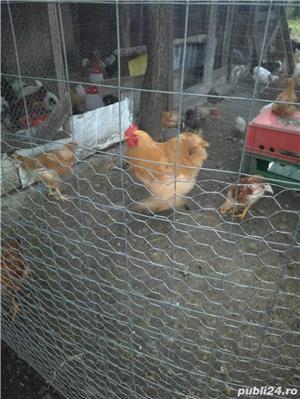 Puicuțe de prăsilă rase ouă şi mixte - imagine 2