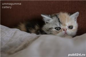Puiuti Exotic Shorthair Cu Pedigree - imagine 5