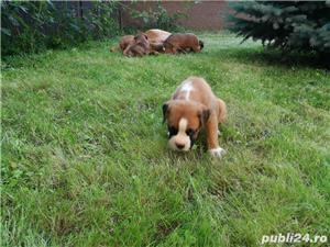 Puiuți căței Boxer German  - imagine 10