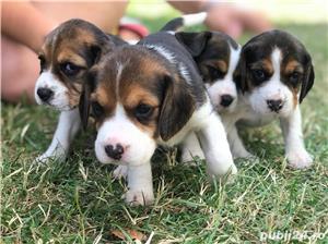 Căţeluşi Beagle - imagine 1