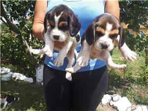 Căţeluşi Beagle - imagine 5