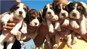 Căţeluşi Beagle - imagine 8
