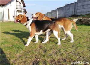 Căţeluşi Beagle - imagine 9