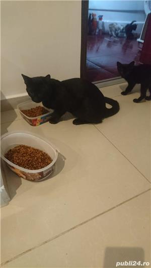 Fac cadou puiuți de pisică - imagine 3