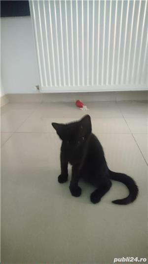 Fac cadou puiuți de pisică - imagine 16