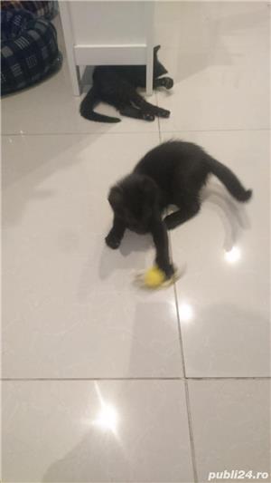 Fac cadou puiuți de pisică - imagine 4