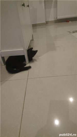 Fac cadou puiuți de pisică - imagine 15