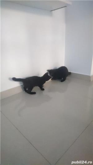 Fac cadou puiuți de pisică - imagine 9