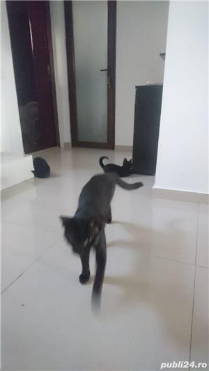 Fac cadou puiuți de pisică - imagine 18