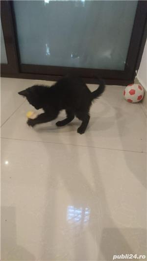 Fac cadou puiuți de pisică - imagine 19