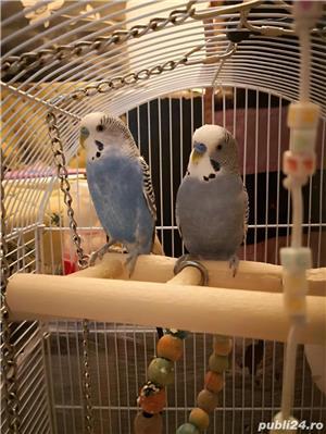 Gigi și Nina - familie în construcție peruși cu colivie caută chirie  - imagine 4