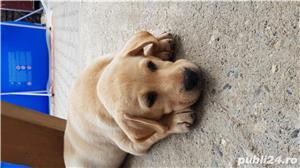 Labrador - imagine 3