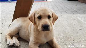 Labrador - imagine 1