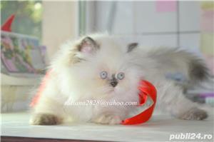 Pui pisica persana Doll Face ! - imagine 6