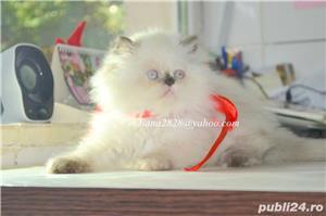 Pui pisica persana Doll Face ! - imagine 5