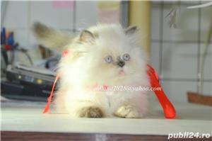 Pui pisica persana Doll Face ! - imagine 8