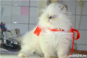 Pui pisica persana Doll Face ! - imagine 1