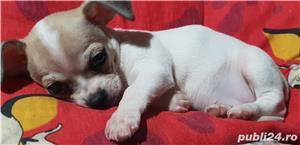 Vand Chihuahua - imagine 2