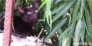 Donez puii de pisică - imagine 3