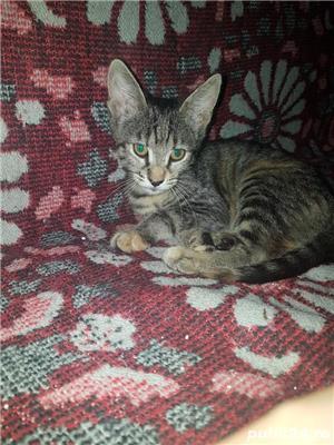 Dau spre adoptie pui de pisicuta - imagine 3