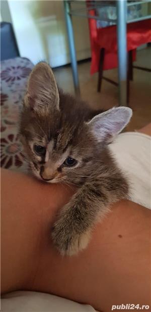Dau spre adoptie pui de pisicuta - imagine 1