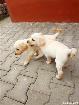 Pui Labrador - imagine 4