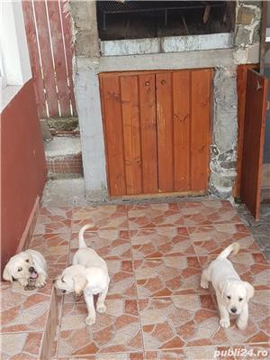 Pui Labrador - imagine 6