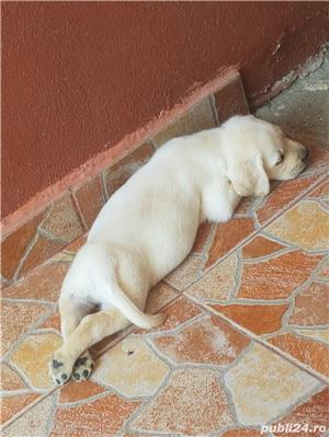 Pui Labrador - imagine 7