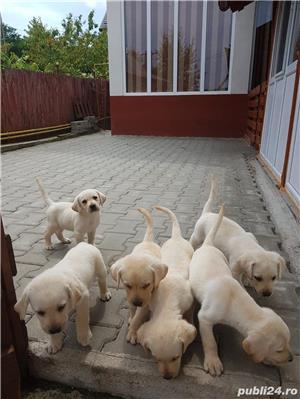Pui Labrador - imagine 1