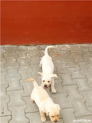 Pui Labrador - imagine 5