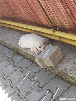 Pui Labrador - imagine 8