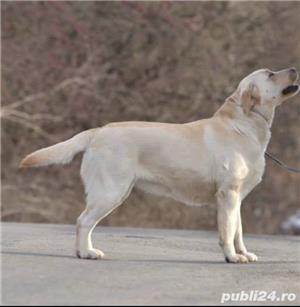 Fetița labrador cu pedigree tip A - imagine 6