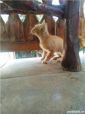 Pisică de vânzare  - imagine 2