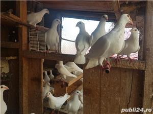 Porumbei albi  - imagine 2