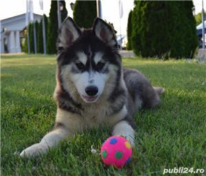 Cățeluși Husky pedigree A - imagine 5