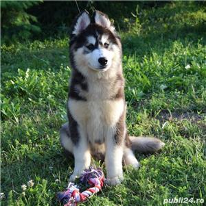 Cățeluși Husky pedigree A - imagine 4