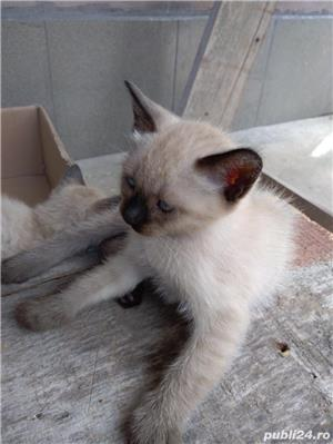 Vând pisici birmaneze rasă pură - imagine 5