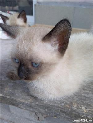 Vând pisici birmaneze rasă pură - imagine 8