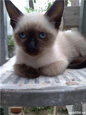 Vând pisici birmaneze rasă pură - imagine 6