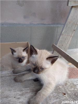 Vând pisici birmaneze rasă pură - imagine 9