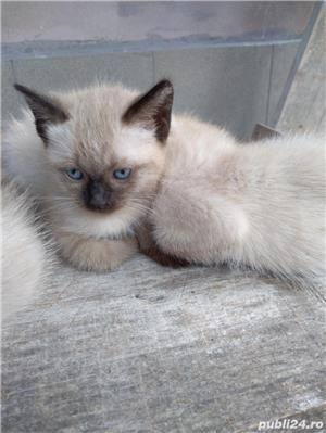 Vând pisici birmaneze rasă pură - imagine 4