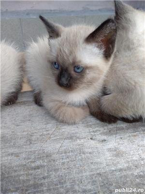 Vând pisici birmaneze rasă pură - imagine 10