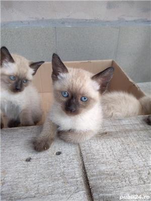 Vând pisici birmaneze rasă pură - imagine 3