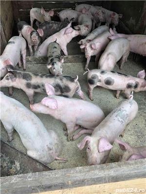 Grasuni si porci grasi de carne - imagine 4