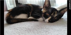Adopție pisici - imagine 3