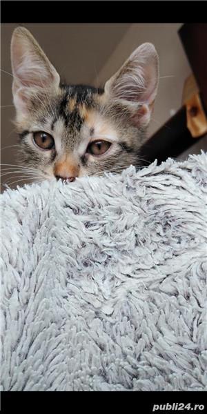 Adopție pisici - imagine 1